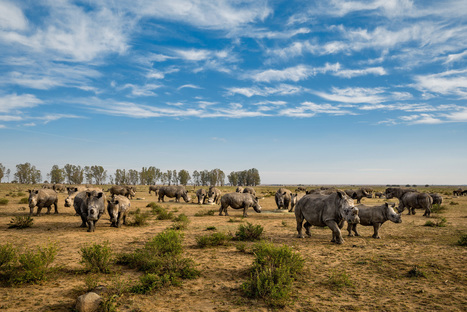 Nice Shot! The World's Largest Rhino Farm | What's Happening to Africa's Rhino? | Scoop.it