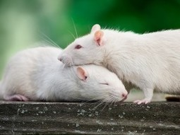 Empathy in Rats - Animal Cognition   Empathy and Animals   Scoop.it