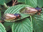 Ready Or Not, Here Come The Cicadas! | Research from the NC Agricultural Research Service | Scoop.it