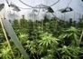 One cannabis raid every day in Scotland | Alcohol & other drug issues in the media | Scoop.it