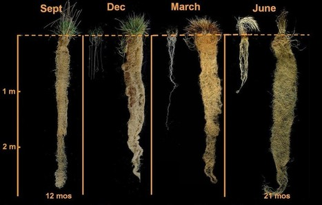Supergrain Kernza Could Save Our Soil and Feed Us Well—But Is it Helpful or Harmful?   reNourishment   Scoop.it