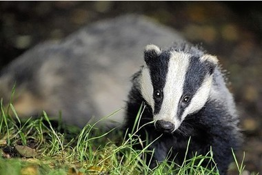Badger shooting: Crimes against wildlife in part of Derbyshire at 'all-time high' | Bovine TB, badgers and cattle | Scoop.it