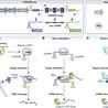 CRISPR-Cas System