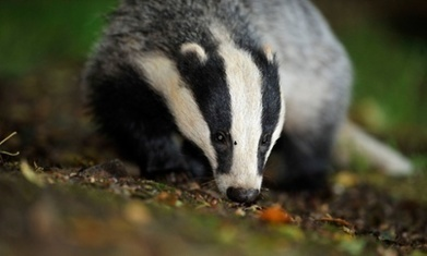 Badger culls would continue under new Tory government, Liz Truss says | Bovine TB, badgers and cattle | Scoop.it