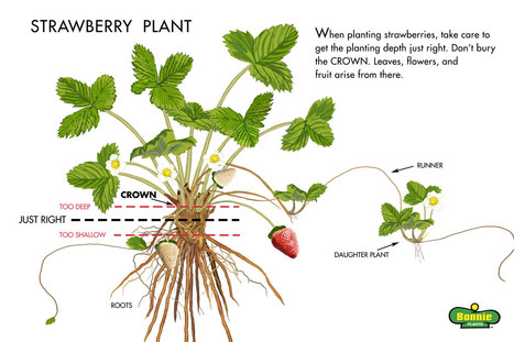 A highly specific microRNA-mediated mechanism silences LTR retrotransposons of strawberry | Mobile Genetic Elements | Scoop.it
