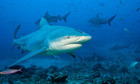 Reunion Island revokes order to hunt sharks | The Wild Planet | Scoop.it
