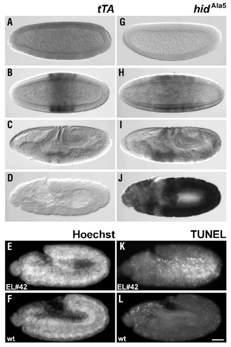 A transgene-based, embryo-specific lethality system for insect pest management | Amazing Science | Scoop.it