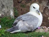 Raising Islands--Hawai'i science and environment: Plastics killing seabirds all over Pacific | Hawaii's News @ Twitter Speed! | Scoop.it