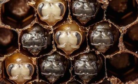 Watch the first 21 days of a bee's life in 60 seconds (video) | Weird Science | Scoop.it