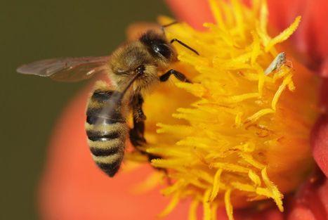 Suisse - Mort des abeilles : interdiction des insecticides reportée à décembre | EntomoNews | Scoop.it