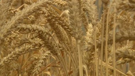 BBSRC/Rothamsted mentions: UK GM wheat 'does not repel pests' | BBSRC News Coverage | Scoop.it