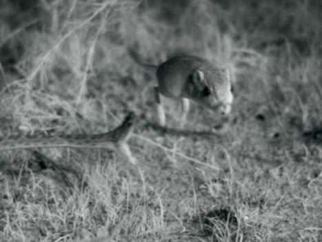 L'impressionnante attaque d'un crotale filmée à grande vitesse | Biodiversité | Scoop.it