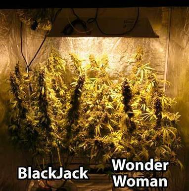 Cannabis Grow Journals Full Grows In Pictures
