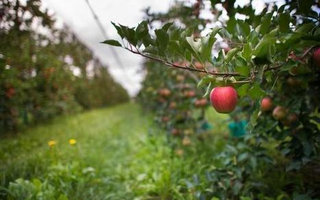 Les maladies relâchent la pression, Fruits & Légumes - Pleinchamp | Arboriculture: quoi de neuf? | Scoop.it