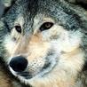 Wolf Lovers Unite