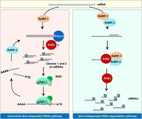 Rnai pathways in mucor a tale of proteins sma rnai pathways in mucor a tale of proteins small rnas and functional diversity ccuart Gallery