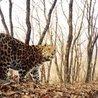 Conservation Efforts For The Amur Leopard