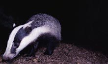 The badger cull could be thwarted by hi-vis jackets and pee | Conservation & Environment | Scoop.it