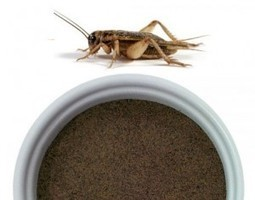 Cricket Flour - The New Sustainable Super Protein | Entomophagy: Edible Insects and the Future of Food | Scoop.it