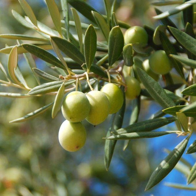 France: une belle récolte d'huile d'olive attendue en 2018/2019