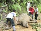 "14 Pygmy Elephants Die Mysteriously in Borneo - Clearing Forests - Elephants become ""Pests"" 
