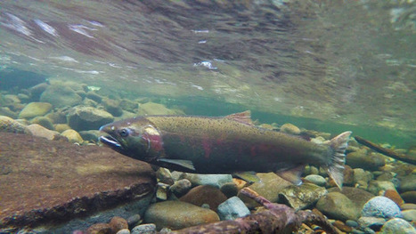 03/01/2017: State awards $14.6 million for salmon recovery projects statewide | Global Aquaculture News & Events | Scoop.it