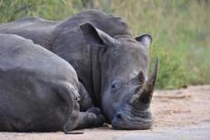 Vietnam, S.Africa target illegal rhino hunters | Corinne | Scoop.it