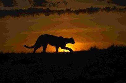 Big cats spotted in the Cotswolds - Gazette Series | Cats Rule the World | Scoop.it
