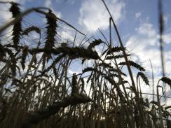 "Doctor: Modern wheat a ""perfect, chronic poison"" | Arun Thai Natural Health | Scoop.it"