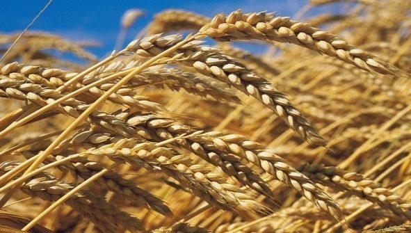 Céréales : Le Maroc frôle les 100 millions de quintaux | Infomédiaire