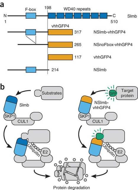 Fluorescent fusion protein knockout mediated by anti-GFP nanobody - Nature Struct. Mol. Biology | learning plant | Scoop.it