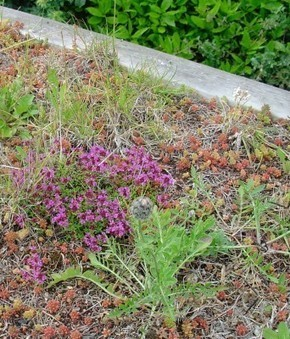 John's Wildflower tips for the New Year - Small Scale Green Roof Guide   Interesting Reading to learn English -intermediate - advanced (B1, B2, C1,)   Scoop.it