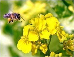 Abeilles : trois pesticides interdits, mais une persistance dans l ... - Le Matin DZ | SOUVERAINETÉ ALIMENTAIRE PARTOUT | Scoop.it