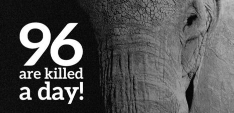 VIDEO. 96 éléphants contre le commerce illégal de l'ivoire | Chronique d'un pays où il ne se passe rien... ou presque ! | Scoop.it