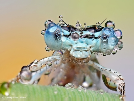 Amazing Macro Photographs of Insects Covered in Dew | omnia mea mecum fero | Scoop.it