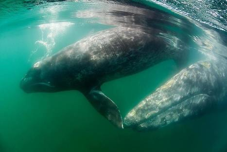 Saving Gray Whales and Responsible Whale Watching in Baja California - Wildcoast | Baja California | Scoop.it