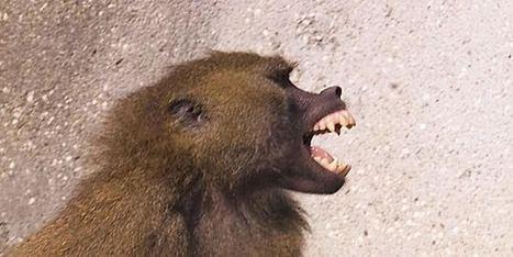 Le babouin de Guinée, un être doué pour l'orthographe   Le Monde   au cul du c@mion   Scoop.it