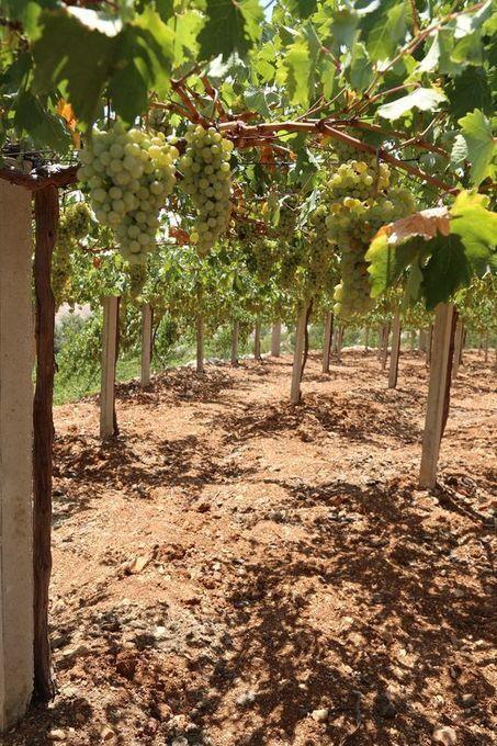 Wine Mosaic au secours des cépages oubliés | Route des vins | Scoop.it