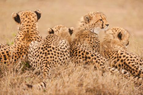 Cheetahs Are Dangerously Close to Extinction | Biodiversity protection | Scoop.it