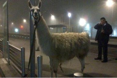 «Kidnapping» de Serge le lama: le cirque retire sa plainte contre les cinq jeunes | Mais n'importe quoi ! | Scoop.it