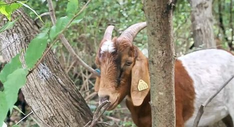Eco-Goats: A Working Alternative to Herbicides | Family issues | Scoop.it