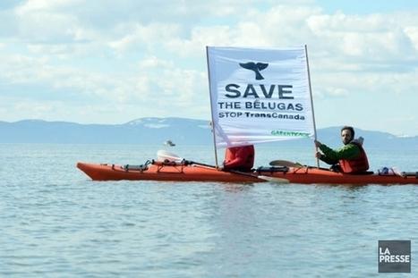 Cacouna: suspension des foragespour protéger les bélugas | Information sur les océans | Scoop.it