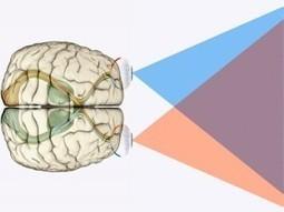 A Critical Theory in Brain Development | Neuroscienze | Scoop.it