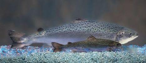 El salmón transgénico, a punto de ver la luz después de 23 años de exámenes   Plant Gene Seeker -PGS   Scoop.it