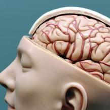 Sleutelgebied voor ouderdom gelokaliseerd in brein | Gezondheid, GGD, WMO, WWB | Scoop.it