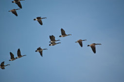 Novel technology reveals aerodynamics of migrating birds flying in a V-formation | Heal the world | Scoop.it