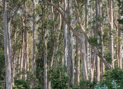 California's Eucalyptus Debate | Australian Plants on the Web | Scoop.it