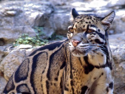 Up Close: The Amazingly Beautiful Clouded Leopard! | Biodiversity IS Life  – #Conservation #Ecosystems #Wildlife #Rivers #Forests #Environment | Scoop.it
