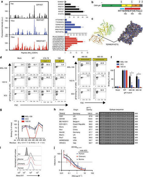 Functional screening for anti-CMV biologics identifies a broadly neutralizing epitope of an essential envelope protein | Immunology and Biotherapies | Scoop.it
