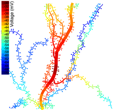 After 100 Years, Understanding the Electrical Role of Dendritic Spines   News   McCormick School of Engineering   Northwestern University   Science&Nature   Scoop.it
